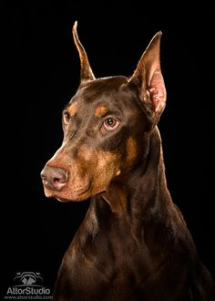 The Doberman Pinscher is among the most popular breed of dogs in the world. Known for its intelligence and loyalty, the Pinscher is both a police- favorite Black Doberman, Doberman Love, Black Lab Puppies, Dogs And Puppies, Corgi Puppies, Doggies, Doberman Ear Cropping, Doberman Pinscher Puppy, Doberman Puppies