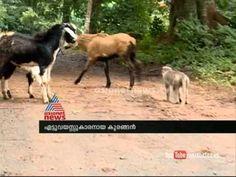 The monkey shepherds of Nelliampathy in Kerala : Asianet News Special Rabbi, Kerala, Monkey, News, Youtube, Animals, Jumpsuit, Animales, Animaux