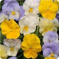 Cool Wave™ Pastel Mixture Pansy
