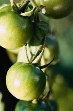 Applying the right type of fertilizer provides bountiful tomato crops.