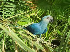 Spix's Macaw reappears in Brazil (photo © Al Wabra Wildlife Preservation)