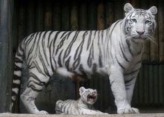 Czech Republic White Tigers