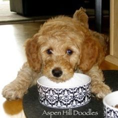 Another golden doodle puppy! It's like a stuffed animal! Cute Puppies, Cute Dogs, Dogs And Puppies, Doggies, Mini Goldendoodle, Goldendoodles, Red Labradoodle, Standard Goldendoodle, Labradoodles