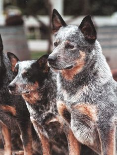 Australian cattle dogs - the Blue Heeler
