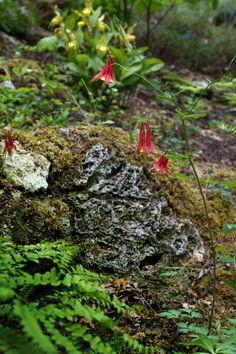 Garden in the Woods, Wild Comlumbine, by Justine Hand for Gardenista