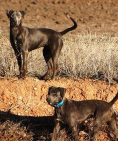 blue lacy dog photo | State Dog of Texas- Blue Lacy | Animals I love