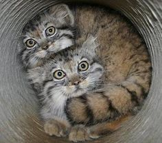 A Wild Russian Manul Kittens   - The Only Cat With Round Pupils