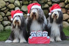 The Bearded Collies at Gentle Souls wish you a Happy Holidays.