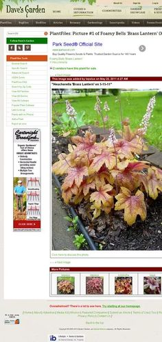 heucherella brass lantern - Google Search