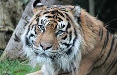 Image result for images of tiger heads
