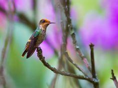 Foto topetinho-vermelho (Lophornis magnificus) por Daniel Mello | Wiki Aves - A Enciclopédia das Aves do Brasil