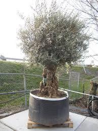 Afbeeldingsresultaat voor olijfbomen fotos