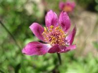 Utah Wildflowers-blinds between may-September