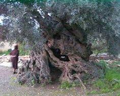 Σχετική εικόνα Old Trees, Adriatic Sea, Olive Tree, Montenegro, Croatia, Greece, Coast, Garden, Nature
