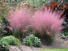 Hydrangea Care Discover Pink Muhly Grass Pink Muhly Grass Breathtaking pink mist forms on top from summer and lasts all through fall. Deer resistant Great for mass plantings Ornamental Grass Landscape, Flower Landscape, Ornamental Grasses, Landscape Grasses, Perennial Grasses, Perennials, Perennial Plant, Cotton Candy Grass, Pink Grass