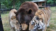 Beer, leeuw en tijger gered uit drugshol, vijftien jaar later zijn ze nog steeds de beste maatjes