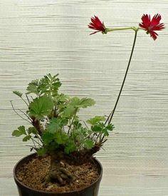 pelargonium Bowker Harvey