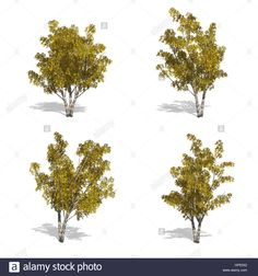 nyírfa esik fák, elszigetelt fehér háttérrel.  Stock fotó