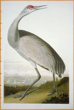 "Hooping Crane: The Birds of America by John James Audubon, Vol. III, Pl. 261. London, 1827-1838, (Elephant Folio). From the John James Audubon ""Bird's in America Collection"" in the Rare Book and Special Collections Division at the Library of Congress. For the full work see:  http://hdl.loc.gov/loc.pnp/cph.3b52402"