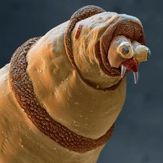Maggot under an electron microscope...not a very pretty face