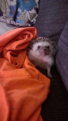 Hedgehog Reggie the hedgie!