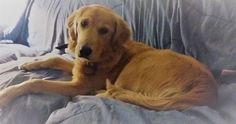 Lunes Mascotero, nueva entrada en el #blog, Floyd una perrita golden que se perdió en Bahía Blanca pero puede estar en cualquier lado, ¿ayudas difundiendo? #perros #mascotas #BahíaBlanca Dogs, Animals, Pet Dogs, Happy Day, Mondays, Entryway, Thoughts, Animaux, Doggies