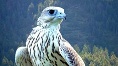 News - Massive Arctic predator gyrfalcon spotted in Ontario - The Weather Network
