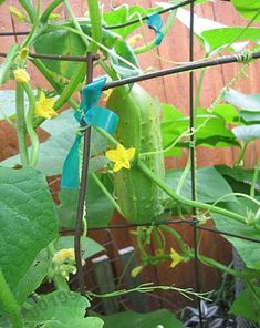 Growing cucumbers on a trellis... it's the best way to do it! :) I have done this and find it to work!