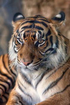 Manis ♀ (Sweet in Indonesian) Sumatran Tiger from Taman Safari in Indonesia @ Ueno zoological gardens in Tokyo, Japan Beautiful Cats, Animals Beautiful, Pretty Cats, Big Cats, Cute Cats, Funny Cats, Animals And Pets, Cute Animals, Wild Animals