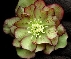 Helleborus/Christmas Rose
