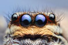 Marpissa Muscosa - is a species of jumping spider (macro photography) Macro Fotografie, Fotografia Macro, All Nature, Science And Nature, Close Up Photography, Art Photography, Amazing Photography, Insect Photography, New York City