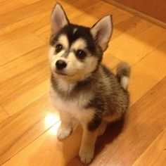Husky and Pom mix. It stays like a puppy forever.