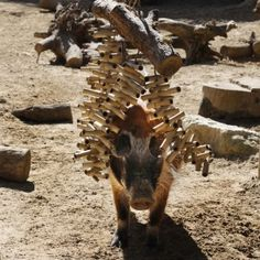 Red river hog plays in enrichment-CB