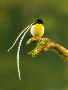 Adult male King of Saxony Bird of Paradise on a calling perch in Papua New Guinea