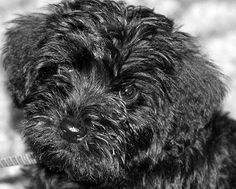 This looks like my miniature schnauzer Jack when he was a puppy :) Schnoodle Puppy, 3 Best Friends, Fuzzy Wuzzy, Pets 3, Miniature Schnauzer, Schnauzers, Salvador, I Love Dogs, Beauty And The Beast