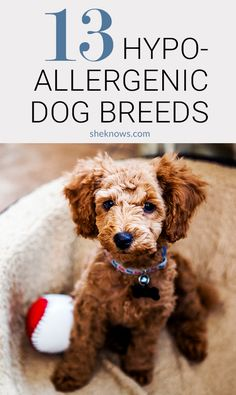 There are so many breeds that are low-dander, making them the perfect companion for allergy sufferers. dogs Don't let your dog allergies stop you from adopting the perfect canine companion Best Small Dog Breeds, Best Small Dogs, Dog Breeds That Dont Shed, Cute Dogs Breeds, Pet Breeds, Best Puppies For Kids, Small Dogs For Kids, Best Hypoallergenic Dogs, Friendly Dog Breeds