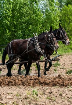 Mule Team, my grandpa had mules. This is plowing Tennessee style,He always talked to the mules.Never yelled.They understood each other !