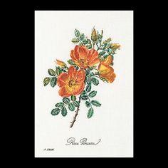 Rose Chazal