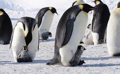 3840x2400 Wallpaper penguins, emperor, arctic, flock