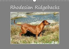 Rhodesian Ridgebacks High-quality photo calendar of Rhodesian Ridgebacks in their natural environment in South Africa, photographed by Anke van . Rhodesian Ridgeback, Photo Calendar, South Africa, Environment, Photo Wall, Van, Landscape, Nature, Animals