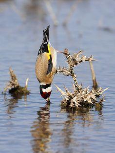 Dorst: European Goldfinch, Carduelis carduelis / Putter