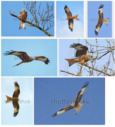 #Red #Kite from my portfolio @shutterstock​ #bird #wildlife #raptor http://www.shutterstock.com/portfolio/search.mhtml?searchterm=red+kite&x=0&y=0&media_type=images&search_cat=&searchtermx=&people_gender=&people_age=&people_ethnicity=&people_number=&color=&lang=da&search_source=search_form&version=llv1&anyorall=all&safesearch=1&submitter=584140&photographer_name=Dennis+Jacobsen&search_group=&orient=&commercial_ok=&show_color_wheel=1&sort_method=popular