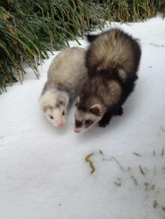 Ferrets on their couple's stroll. (Photo by Amber P.)
