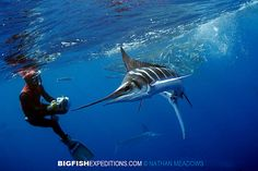 Diving with Striped Marlin in Baja, Mexico.