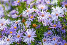 Aster 'Little Carlow', or Symphyotrichum.