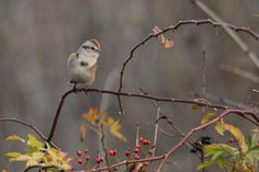 American Tree Sparrow -- these little rusty-capped fellows show up in Wisconsin in the fall and stay throughout the winter.