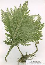 Mosslumrar - släktet Selaginella