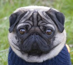 OMG I have officially found a pic of a pug that is actually cuter than mine. That is a first. ;p