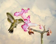 Desert Rose and Hummingbird, Digitally hand painted composite of layered photographs created in Photoshop (by Matthew Schwartz)