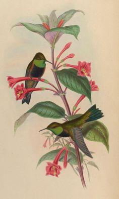 Hummingbirds with Fuchsia macrostigma - circa 1861
